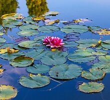Water lilies in September by vampyba