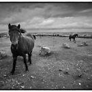 Ponies of Dartmoor by Rob Hawkins