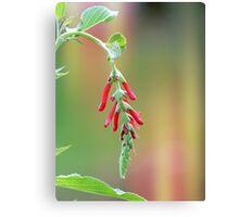 Pineapple Sage Bloom Canvas Print