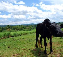 Black Calf in Field by clydemax