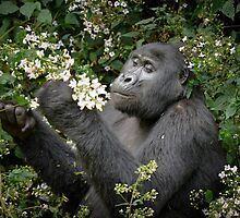 mountain gorilla eating flowers, Uganda by travel4pictures