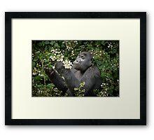 mountain gorilla eating flowers, Uganda Framed Print