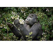 mountain gorilla eating flowers, Uganda Photographic Print