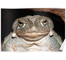 Colorado River Toad Poster