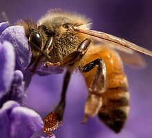 Honey bee on Lavender by nancyanndesigns