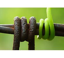 Grapevine tendril around the barbed wire Photographic Print