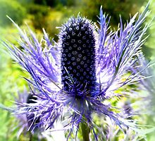 Eryngium Thistle by ©The Creative  Minds