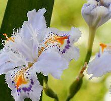 blue orchid by spetenfia