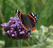 Atalanta on Verbena by ienemien