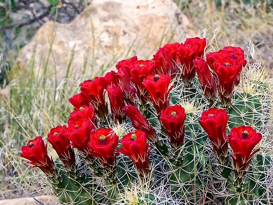 Red Claret Cup Cactus Flowers in Captiol Reef National Park by Kenneth Keifer