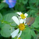 Banded Hairstreak in Spanish Needles by May Lattanzio