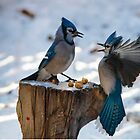 Bluejays by abeer hassan