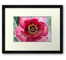 peony in spring Framed Print