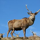 Stag by beavo