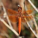 Red Dragonfly Wings by IreKire