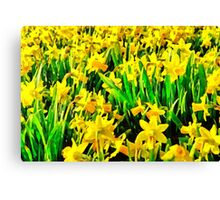 Field Of Daffodils Canvas Print