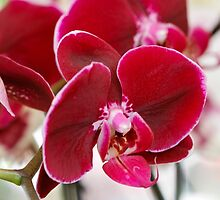 orchid bloom by spetenfia