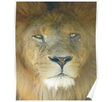 Lion Portrait, The king of the Jungle Poster