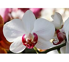 orchid bloom Photographic Print