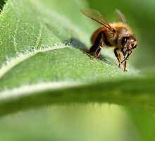 Honey bee on a sunflower leaf by nancyanndesigns