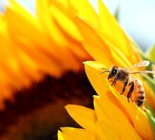 Honey bee sitting on a sunflower by nancyanndesigns