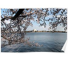 Cherry trees and Jefferson Memorial Poster
