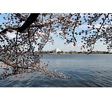 Cherry trees and Jefferson Memorial Photographic Print