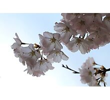 Cherry blossoms, Washington DC Photographic Print