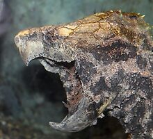 Alligator snapping turtle by Kelly Morris