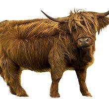 Shaggy Highland Cow III by Alius Imago