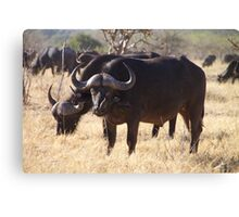 African Cape Buffalo with Two Oxpeckers on His Face Canvas Print
