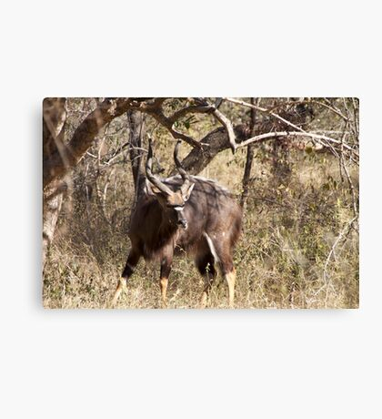 Male Nyala from South Africa Canvas Print