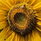 823 Sunflower by pcfyi
