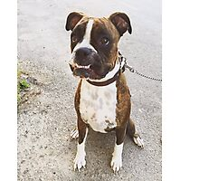 Silly Boxer Dog - Pippa Photographic Print