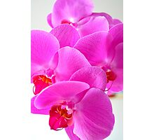 Pink Greenfield Sweetheart Orchids Photographic Print