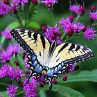 Tiger Swallowtail - Hueston Woods Ohio by Tony Wilder
