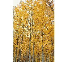 Aspens #1 Photographic Print