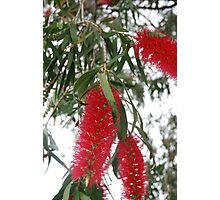Bottle brush Photographic Print