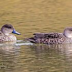 Grey Teal Pair by Rick Playle