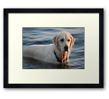 My English Creme Golden Retriever  Framed Print