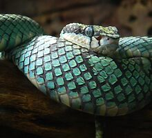 Green Pit Viper by colormechaos
