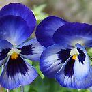 Pretty Blue Pansies........Dorset UK by lynn carter