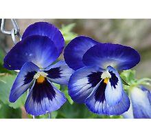 Pretty Blue Pansies........Dorset UK Photographic Print