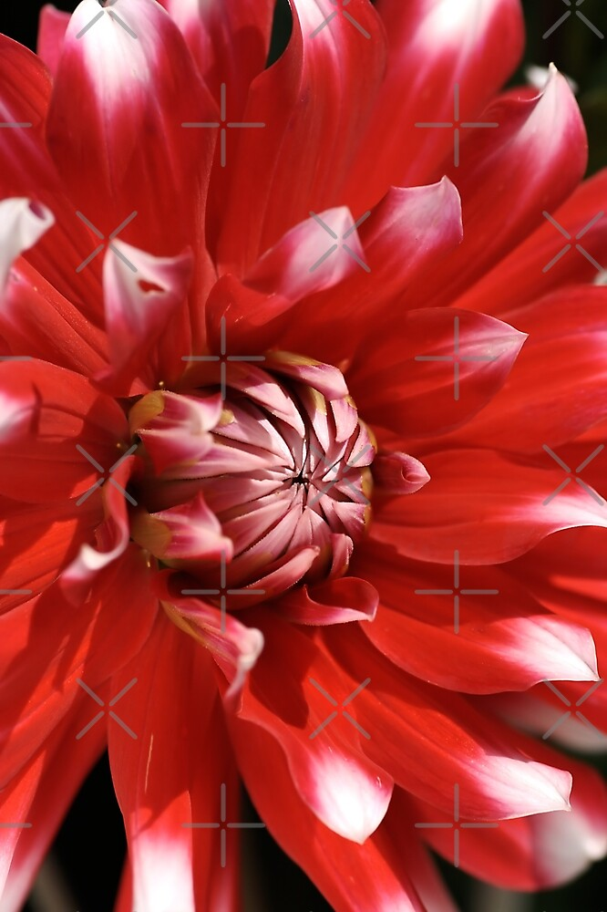 flower- red-white-dahlia by Joy Watson