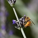 Bee in English Lavender by Sandra Chung