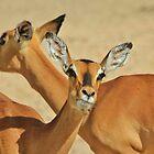 Impala - Funny Nature - African Wildlife Background by LivingWild
