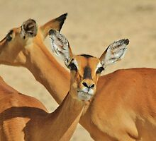 Impala - Funny Nature - African Wildlife Background by LivingWild