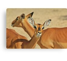 Impala - Funny Nature - African Wildlife Background Canvas Print