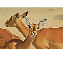 Impala - Funny Nature - African Wildlife Background Photographic Print