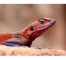 East African Rainbow Agama Lizard, Male Photographic Print